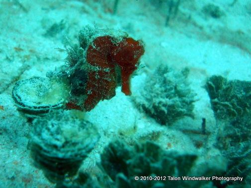 Seahorse attached to pine cone algae, Utila, Honduras