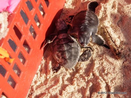 Tigger photo:  Turtle Release