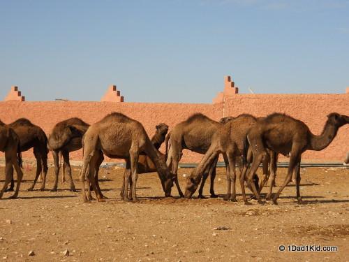 camels, guelmim, morocco, souk