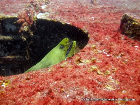Moray eel in a wreck
