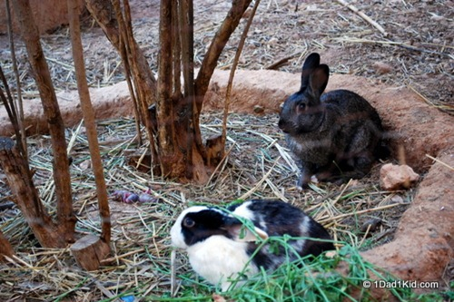 housesitting, rabbits