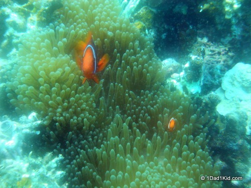 Great Barrier Reef, clownfish