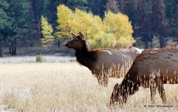 rocky mountain national park, elks, fall, autumn
