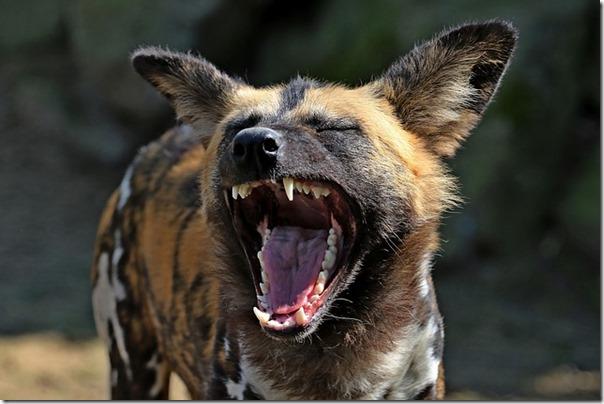 hyena-2323344_640